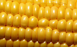Large image of corn Stock Photography