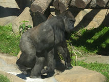 The large image of a gorilla Stock Images
