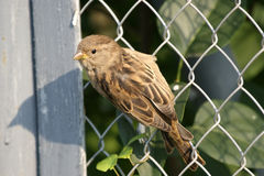 The large image of a  grey sparrow. The large image of a small grey sparrow Stock Image