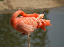 The large image of a red flamingo Stock Photos