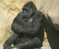 The large image of a sitting gorilla coastal Royalty Free Stock Photos