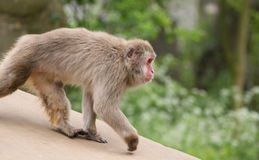 The large image of a small  monkey Royalty Free Stock Images