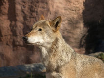 The large image of a standing wolf Royalty Free Stock Image