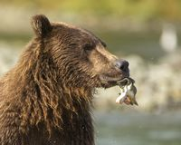 Coastal Brown Bear eating salmon stock photography