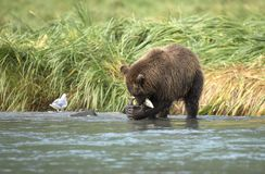 Coastal Brown Bear eating salmon stock images