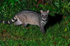 Large indian civet or Viverra zibetha, A nocturnal creature. Large indian civet or Viverra zibetha, A nocturnal creature, patrol at night for food in Kaeng stock images