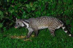 Large indian civet or Viverra zibetha, A nocturnal creature. Large indian civet or Viverra zibetha, A nocturnal creature,  patrol at night for food in Kaeng Stock Photos