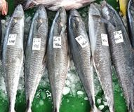 Large Indo-Pacific King Mackerels Royalty Free Stock Photo