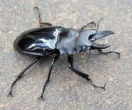 Large Indonesian Beetle Stock Photography