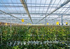 Greenhouse with rose flowers. Large industrial greenhouse with Dutch roses, the overall plan stock photo