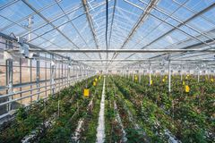 Greenhouse with rose flowers. Large industrial greenhouse with Dutch roses, the overall plan royalty free stock photos