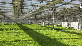 Large industrial greenhouses, green beds, people are working in the background. The vast field sown lettuce in the greenhouse. People working in the background stock footage