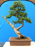 A Large informal upright needle type juniper bonsai on display in Belfast Northern Ireland Royalty Free Stock Images