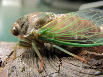 Large insect Royalty Free Stock Photo