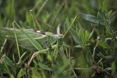 Large insect. Large grasshopper in its habitat Royalty Free Stock Images