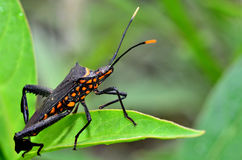 Large insect. Have you ever seen this insect before Royalty Free Stock Images