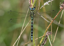 Southern hawker & x28;Aeshna cyanea& x29; male dorsal view Stock Images