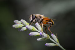 Large insect resting on a flower lavender Stock Photo