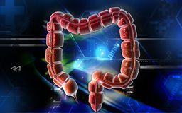 Large intestine Royalty Free Stock Image