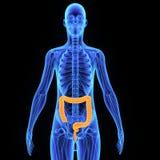 Large intestine Royalty Free Stock Photography