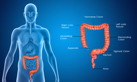 Large Intestine blue labelled Royalty Free Stock Photos