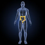 Large Intestine with circulatory system anterior view Royalty Free Stock Photos