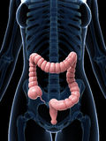 Large intestine Stock Images