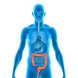 Large Intestine Stock Photos