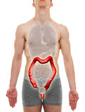 Large Intestine Male - Internal Organs Anatomy - 3D illustration Stock Photo