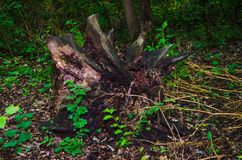 Large inverted stump. A big stump in the forest stock photography