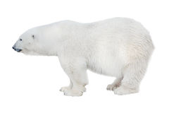 Large isolated pure white  polar bear Stock Image