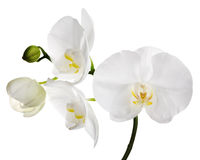 Large  isolated white orchid flowers Stock Image