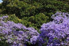 Purple Jacaranda Tree Flowers in Late Spring. A large jacaranda tree, family Bignoniaceaein, full purple flower bloom in late spring Royalty Free Stock Photo