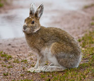 Large Jack Rabbit Royalty Free Stock Images