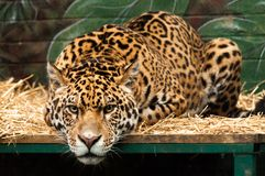 A large jaguar lying on a bed in a zoo. A large jaguar lying on a bed staring straight at the viewer in a zoo in England Stock Photography