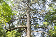 Large japanese cedar tree Stock Images