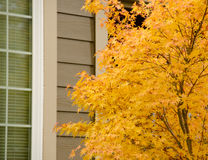 Large Japanese maple with yellow foliage next to a tall window Royalty Free Stock Images