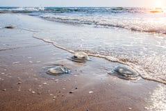 Large  jellyfish Royalty Free Stock Photo