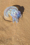Large jellyfish washed up on the shore of the sea Royalty Free Stock Photos