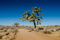 Large Joshua Tree on Big Horn Pass Royalty Free Stock Photography