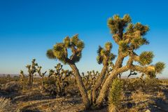 Large Joshua Tree Branches Out. Large branches of Joshua Tree reach out over desert floor in the Mojave of southern California Royalty Free Stock Photography