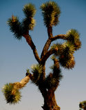 Large Joshua tree desert plant. Large Joshua tree which is a desert plant located in Joshua Tree, CA Royalty Free Stock Photography