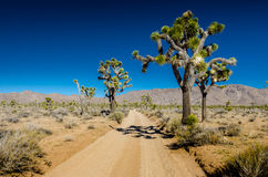 Large Joshua Trees Flanking Dirt Road Stock Photography