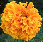 Large jumbo orange Marigold flower close up. Giant yellow orange marigolds flower a summer garden floral favorite. Truly freely petals on a single large Bloom is Royalty Free Stock Photos