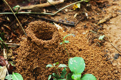 Large jungle ant hill. Large ant hill in the Amazon jungle, Peru stock photo