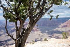 Large Juniper tree at the South Rim of the Grand Canyon National Park. Background intentionnally blurred stock photos