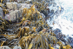 Large Kelp Royalty Free Stock Images