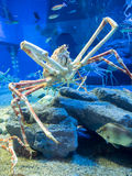 Large King Crab Royalty Free Stock Images