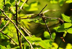 Large king dragonfly Stock Image