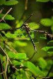 Large king dragonfly Stock Photos